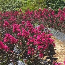 배롱나무-핑크벨로