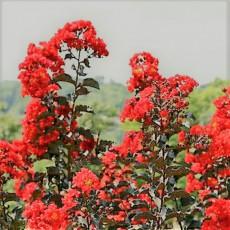 자엽다이나마이트(백일홍